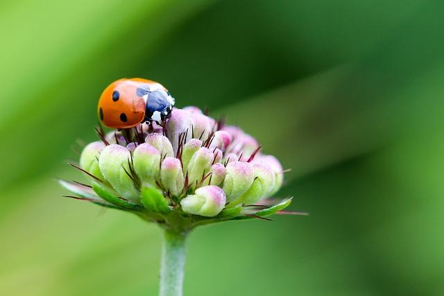Ladybug, Coccinellidae, Siebenpunkt, Beetle