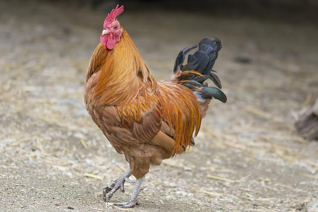 Chickens, Chicken, Haan, Farm, Crows, Sierkip