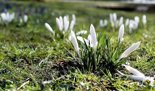 Crocus, White, Bloom, Flower Meadow, Signs Of Spring