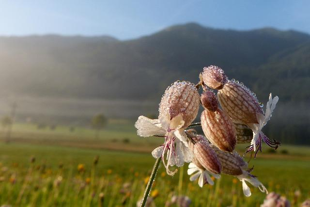 Taubenkropf Leimkraut, Herb, Silene Vulgaris