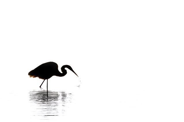 Egret, Silhouette, Black White, Bird, Nature