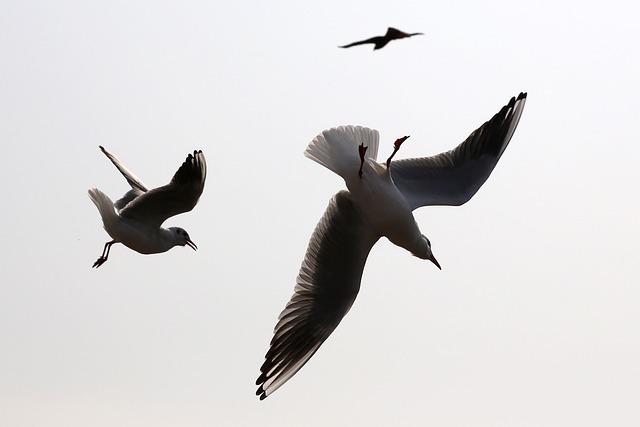 Seagull, Sea Gull, Silhouette, Bird, Seabird