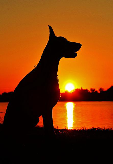 Doberman, Silhouette, Sunrise, Sitting, Dog, Day S
