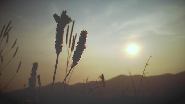 Wheat, Silhouette, Sunset, Flowering Grass, Sky