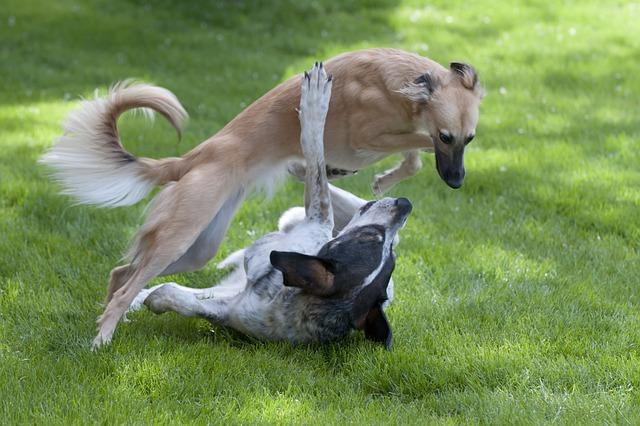 Dog, Playing Dogs, Silken Wind Sprite
