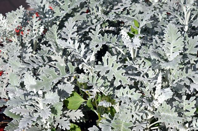 Cineraria, Flower Bed, Flower, Plant, Silver