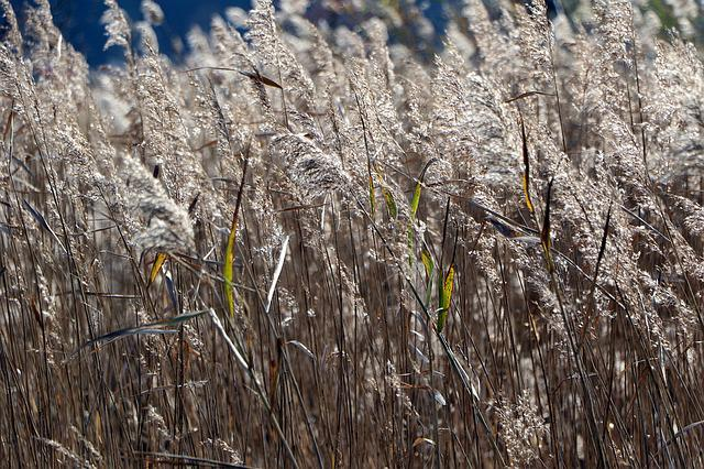 Reed, Nature, Wind, Silver Grass, In Autumn, Reed Marsh