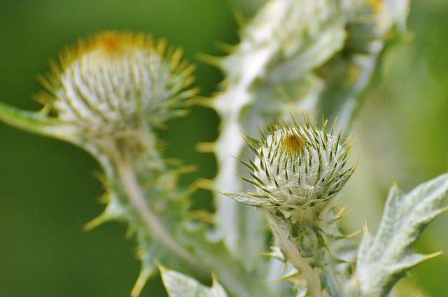 Thistle, Silver Thistle, Large Silver Thistle, Flower