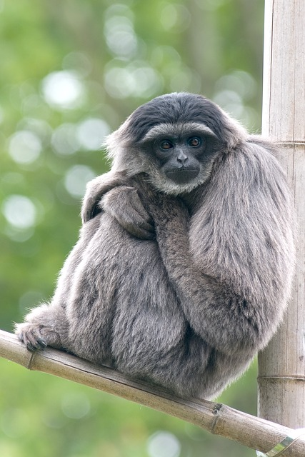 Silvery, Monkey, Gibbon, Zoo, Zooaufnahme