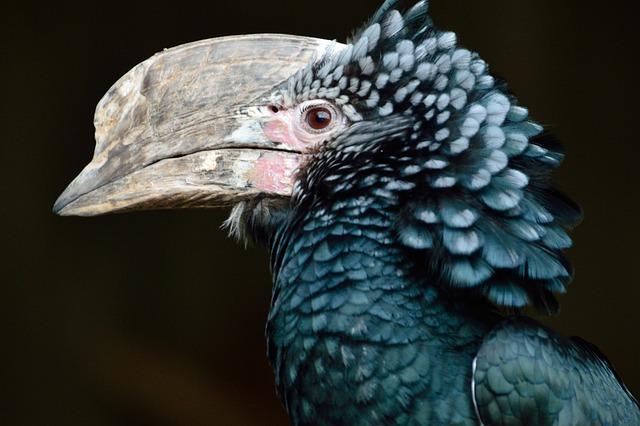 Silvery-cheeked Hornbill, Bird, Hornbill, Black-green