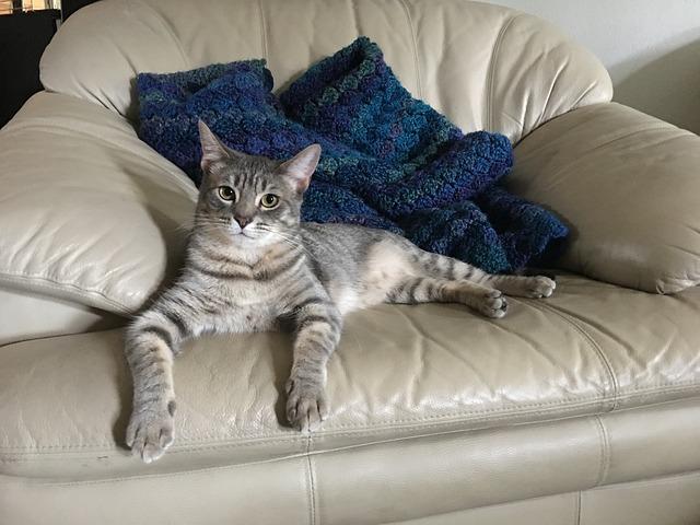 Simese, Cat, Lounging