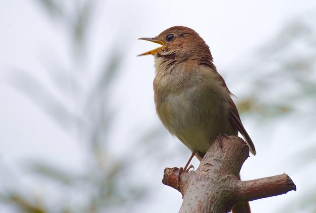 Nightingale, Bird, Sing, Singing, Bird Watching
