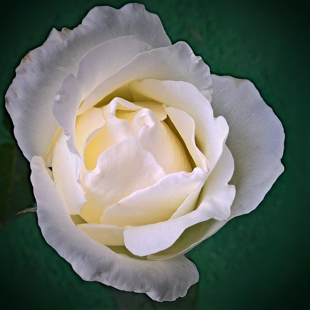 Flower, Floribunda, White, Single Bloom, Close