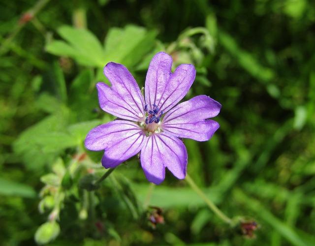 Wild Mallow, Purple Flower, Single Flower, Green Leaves