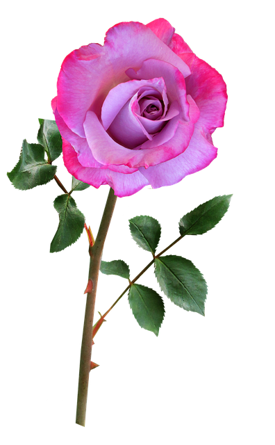 Rose, Mauve, Pink, Single Stem