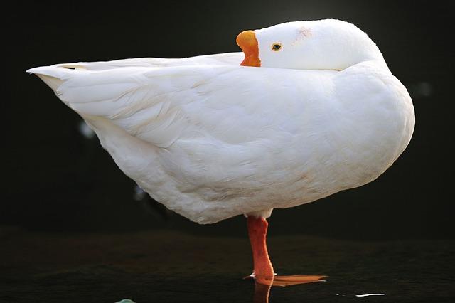 Anthurium, Single Top, Goose, White, Big, Bird, Fauna