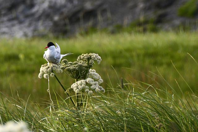 Seagull, Bird, Sit, Animal, Meadow, Flower, Blossom