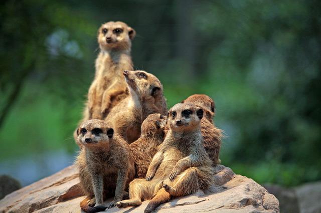 Meerkat, Zoo, Sit, Curious, Watch, Group Picture