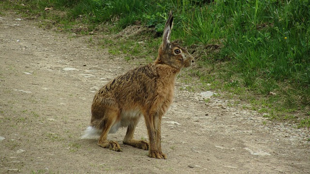Hare, Sits On Away, Wild