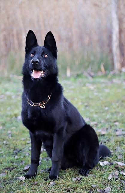Black German Shepherd, Beauty, Sitting, Dog