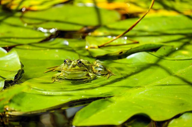 Frog, Water Frog, Frog Pond, Animal, Green, Sitting