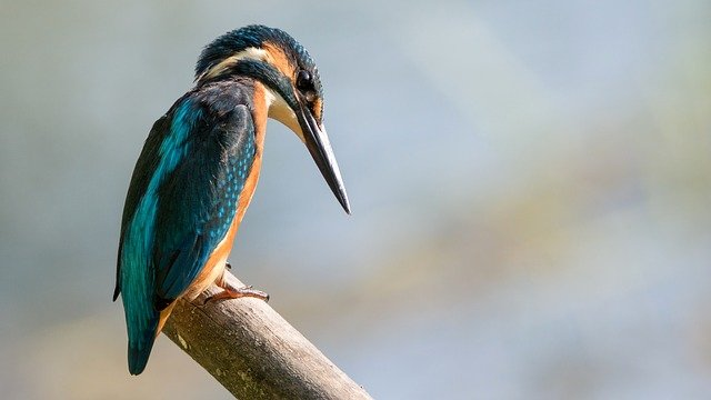 Kingfisher, Sitting, Bird, Colored, Watch, Hunter, Wait