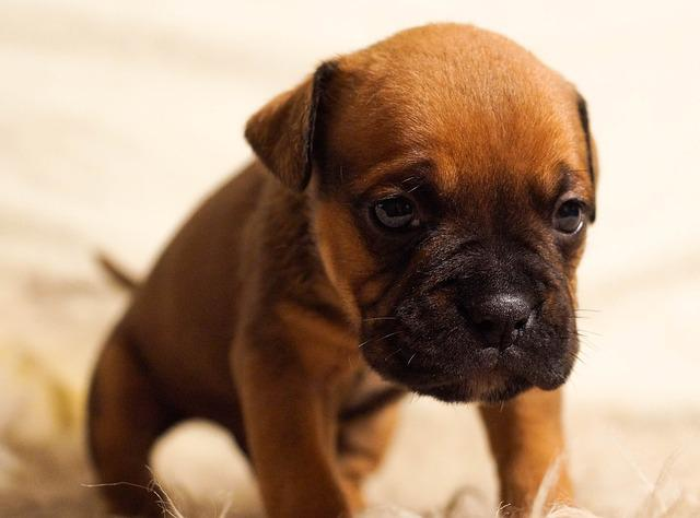 Puppy, Dog, Pet, Cute, Brown, Sitting, Sad, Portrait