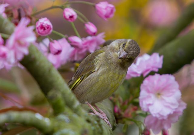 Greenfinch, Fink, Bird, Songbird, Cute, Nature, Sitting