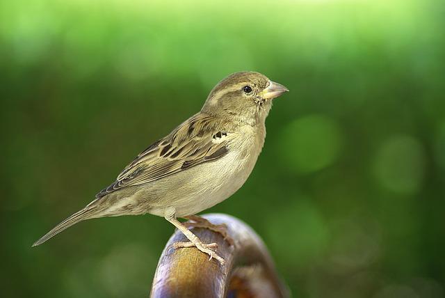 Sparrow, Bird, Sitting, Wing, Plumage, Birdie, Sparrows