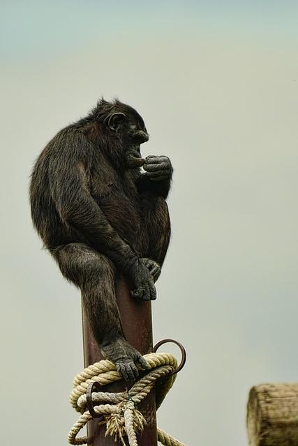 Mammal, Primate, Chimpanzee, Thoughtful, Sitting