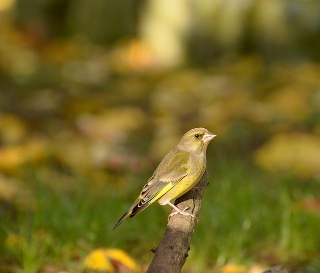 Greenfinch, Fink, Bird, Yellow Green, Road, Sitting