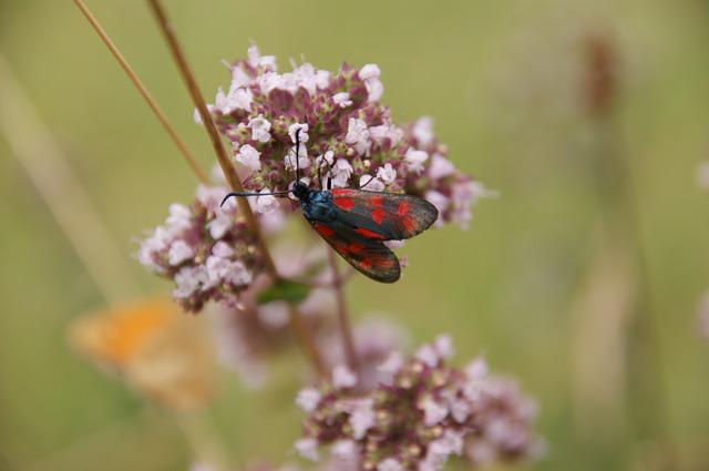 Six Moth, Burnet, Insect, Plant, Close, Blossom, Bloom