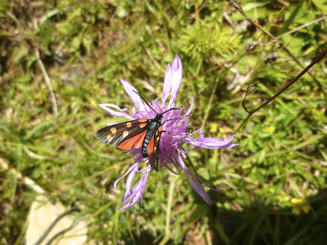 Insect, Butterfly, Burnet, Six Moth