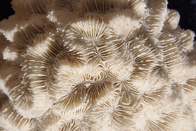 Brain Coral, Hard Corals, Skeletal Structure