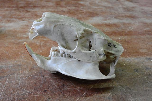 Free photo Skeleton Teeth Animal Skull Anatomy Jaw Skull - Max Pixel