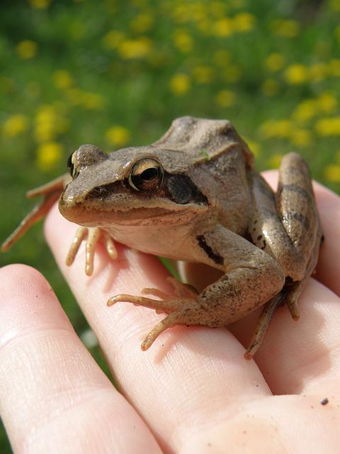 Ski Jumper, Frog, Amphibian, In Your Hands