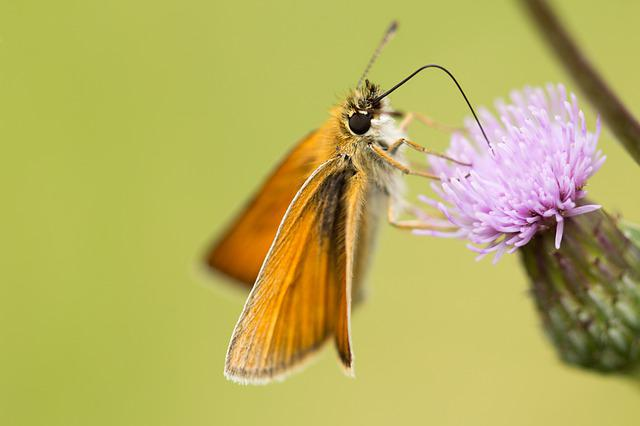 Skipper, Nectar, Suck, Insect, Nature, Close Up, Animal