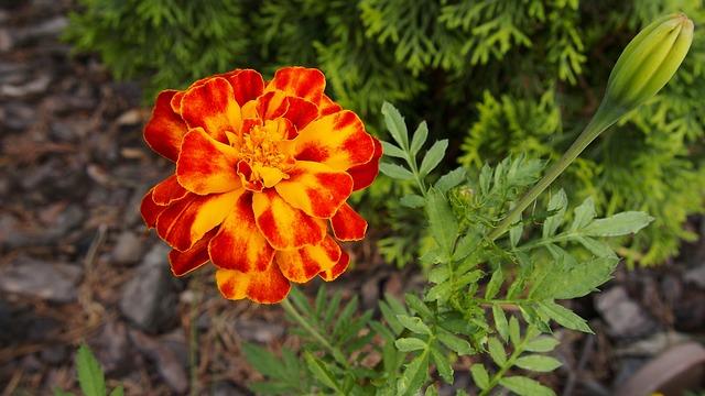 Marigold, Flower, Flowers, Macro, Plant, Garden, Skunk