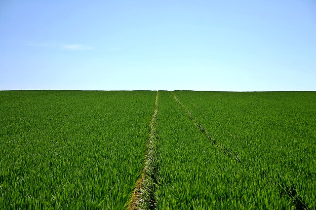 Cereals, Field, Green, Sky, Horizon, Agriculture