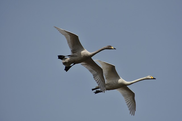 Animal, Sky, Bird, Wild Birds, Waterfowl, Fields, Swan