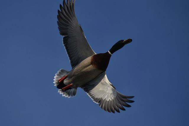 Animal, Sky, Bird, Wild Birds, Duck, Mallard, Feathers