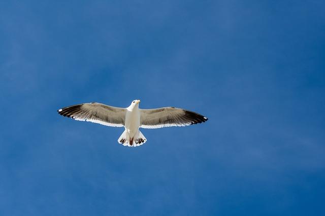 Seagull, Sky, Bird