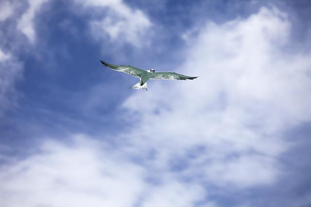 Bird, Common Tern, Flight, Sky, Tropical, Widi Islands