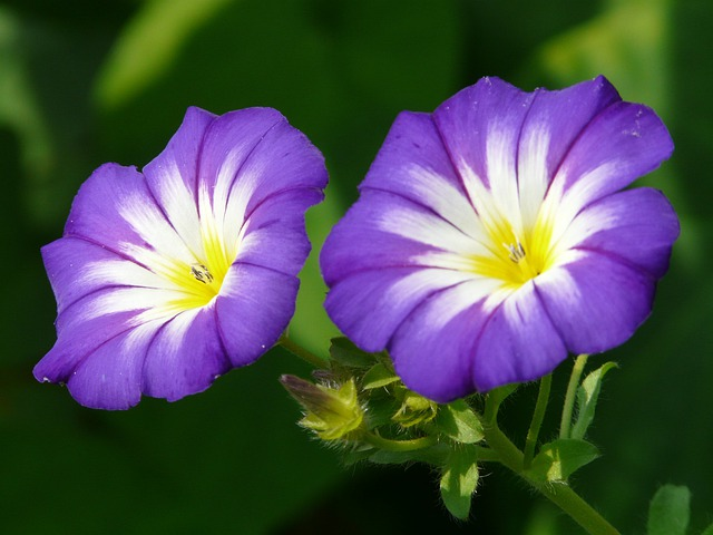 Sky Blue Morning Glory, Ipomoea Tricolor
