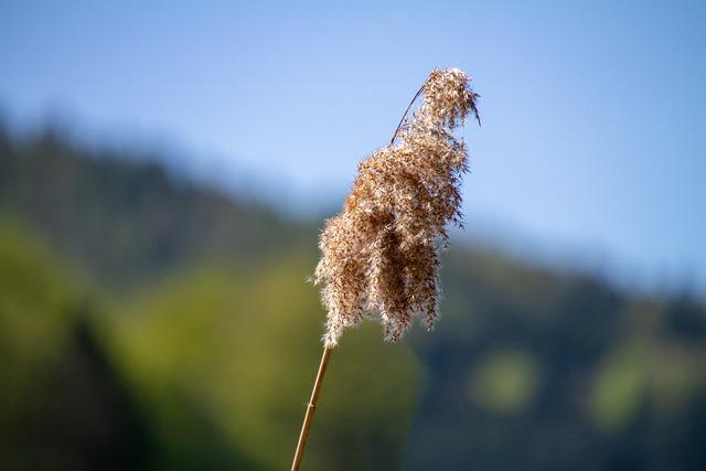 Reed, Nature, Sky, Blue Sky