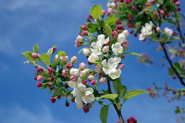 Apple Blossom, Tree, Branch, Spring, Summer, Sky