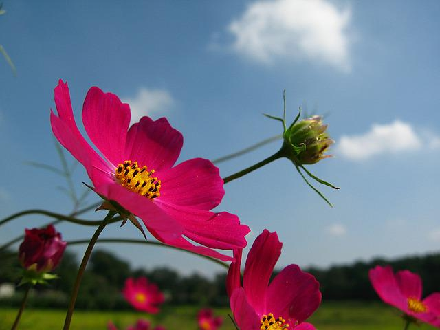 Course, Sky, Cosmos Factory, Pink Petals, Flowers
