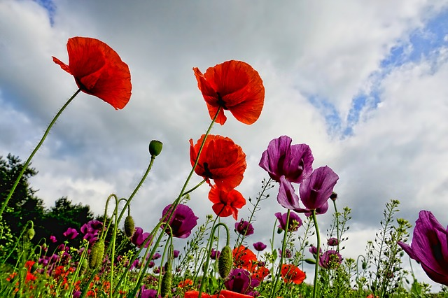 Poppies, Sky, Dramatic, Nature, Poppy, Mohngewaechs