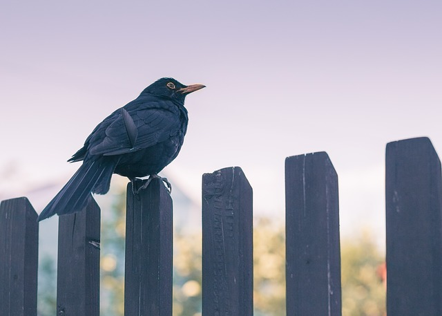 Bird, Nature, Sky, Fence, Twilight, Blackbird