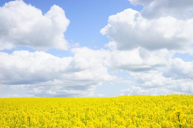 Field Of Rapeseeds, Sky, Clouds, Oilseed Rape